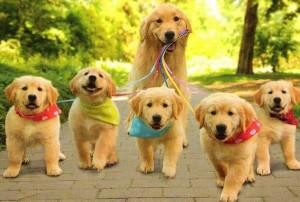 perro-paseando-a-los-cachorros